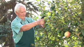 Senior gardener with scissors working. Old man and apple tree. Pruning tools and their uses stock footage