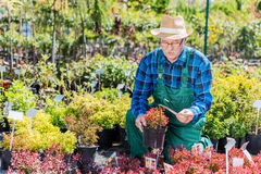 Senior gardener selecting a plant in a nursery. Gardening concept Royalty Free Stock Image