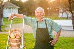 Senior gardener smiling. Stepladder and apple basket. Retirement business idea Stock Photo