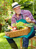 Senior gardener with various vegetables. Stock Image