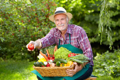 Senior gardener with vegetables is presenting a tomato Stock Images