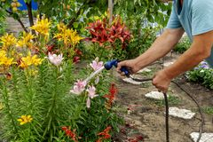A senior gardener watering lily flowers in a garden bed for growth boost with shower watering gun. Organic gardening, self-supply. And housework concept stock photography