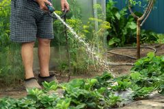 A senior gardener watering young strawberry bushes in a garden for growth boost with shower watering gun. Organic gardening,. Healthy food, nutrition and diet stock image