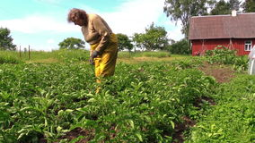 Senior gardener woman in pants care potato plants in rural field stock footage