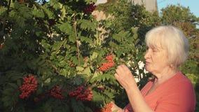 Senior gardener woman taste red red rowan berries in summer garden stock footage