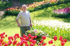 Senior gardener at work Royalty Free Stock Image