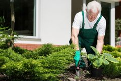 Senior gardener working royalty free stock images