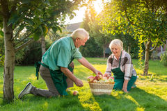 Senior gardeners couple, apple basket. Man and women on grass. Wise minds and working hands Stock Photography