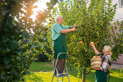 Senior gardeners picking apples. Stock Images