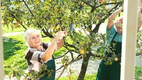 Senior gardeners working, apple tree. stock footage