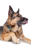 Senior german shepherd dog Stock Photos