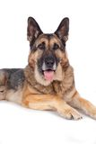 Senior german shepherd dog Royalty Free Stock Image