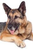 Senior german shepherd dog Royalty Free Stock Photography