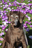 Senior German Short Haired Pointer Stock Image