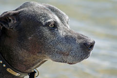 Senior Great Dane Royalty Free Stock Photography