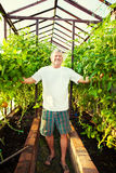 Senior grows harvest in the hothouse. Man grows harvest in the greenhouse. Senior with tomatoes Royalty Free Stock Image