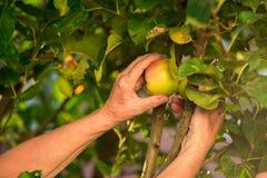 Senior hand picking apple. Stock Images