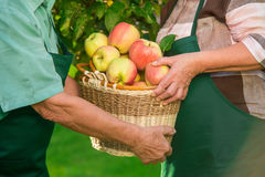 Senior hands and apple basket. Royalty Free Stock Image