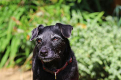Senior healthy contented dog. Happy and healthy older dog with grey whiskers stock photography
