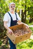 Senior holding box full of walnuts Royalty Free Stock Photography