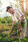 Senior holds a bunch of beet. In a vegetable garden Stock Images