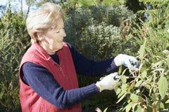 Senior lady pruning. The garden royalty free stock photo