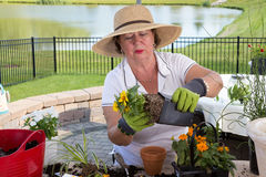 Senior lady removing a rootbound pot from a pot Stock Image