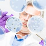 Senior life science researcher grafting bacteria. Focused senior life science professional grafting bacteria in the pettri dishes.  Lens focus on the agar plate Royalty Free Stock Photos