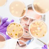 Senior life science researcher grafting bacteria. Royalty Free Stock Image