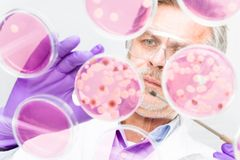 Senior life science researcher grafting bacteria. Focused senior life science professional grafting bacteria in the pettri dishes.  Lens focus on the agar plate Royalty Free Stock Photography