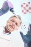 Senior life science researcher grafting bacteria. Royalty Free Stock Images