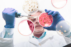 Senior life science researcher grafting bacteria. Stock Photos