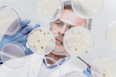 Senior life science researcher grafting bacteria. Royalty Free Stock Photography
