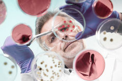 Senior life science researcher grafting bacteria. Royalty Free Stock Photos