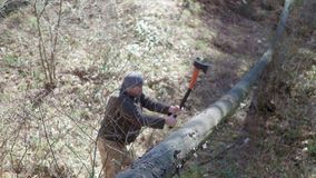 Senior lumberjack cutting tree with axe in the forest.  stock footage