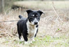 Old Jack Russell Terrier mixed breed dog. Senior male black dog with gray muzzle and docked tail. Short legs, low-rider. Cataracts and mucous in eye. A Jack Royalty Free Stock Photo