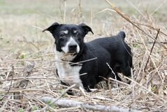 Old Jack Russell Terrier mixed breed dog. Senior male black dog with gray muzzle and docked tail. Short legs, low-rider. Cataracts and mucous in eye. A Jack Stock Photos