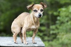 Senior male Chihuahua dog royalty free stock photos