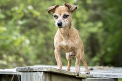 Senior male Chihuahua dog stock photography