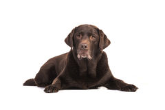 Senior male chocolate brown labrador retriever dog lying on the Stock Photos