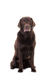 Senior male chocolate brown labrador retriever dog sitting facin Royalty Free Stock Photo