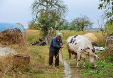 Senior male cow grazes in village Stock Image