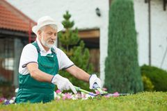 Senior male gardener cutting bush by shears at garden. Senior male gardener cutting bush with grass by shears at garden. Handsome bearded man wearing in special stock image