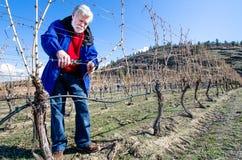 Senior Male Pruning Grape Vines Stock Photos