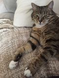 Fluffy cuddly male Tabby cat | Green eyes. Senior male tabby cat has diabetes and needs a lot of rest Royalty Free Stock Photography