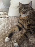 Fluffy cuddly male Tabby cat | Green eyes. Senior male tabby cat has diabetes and needs a lot of rest Stock Image