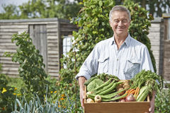 Senior Man On Allotment With Box Of Home Grown Vegetables. Senior Man On Allotment Holding Box Of Home Grown Vegetables royalty free stock images