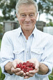 Senior Man On Allotment Holding Freshly Picked Raspberries Royalty Free Stock Photos