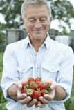 Senior Man On Allotment Holding Freshly Picked Strawberries Stock Image
