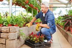 Senior man as gardener in nursery shop Royalty Free Stock Photo